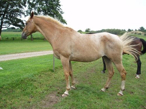 Racebeskrivelse For Appaloosa Heste Nettetdk